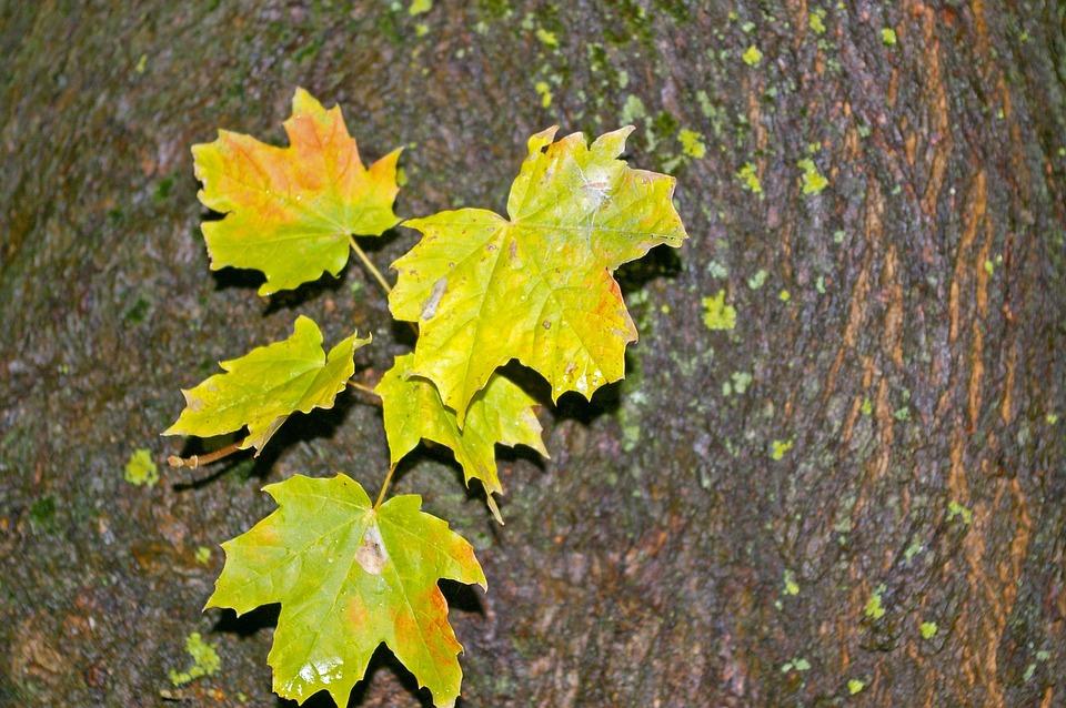 Photo by KRiemer, via Pixabay | https://pixabay.com/en/autumn-maple-leaves-log-green-tree-991064/