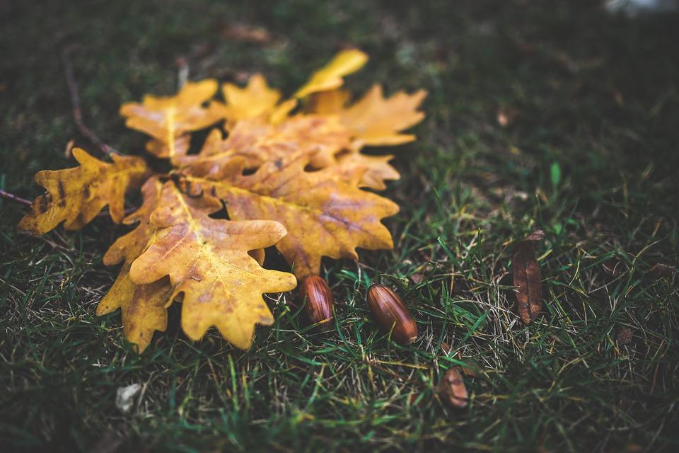Photo by Kaboompics, via Pixabay | https://pixabay.com/en/leaves-leaf-oak-acorn-yellow-791245/