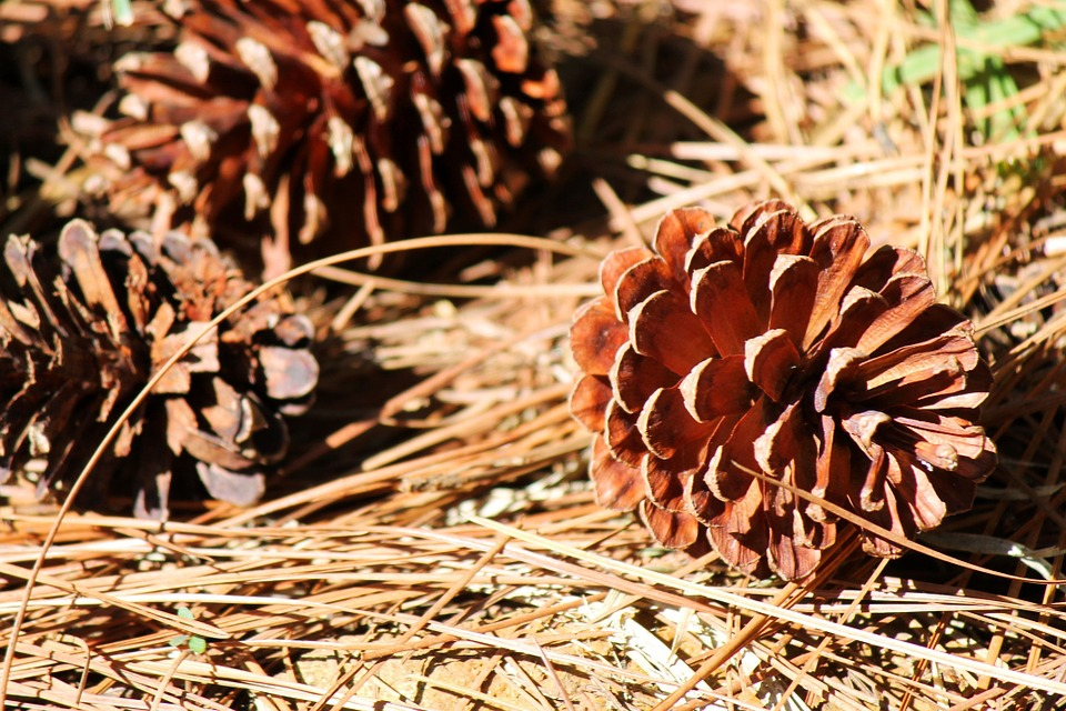 Photo by Musthaqsms, via Pixabay   https://pixabay.com/en/cone-pinecone-seed-fallen-dried-263417/