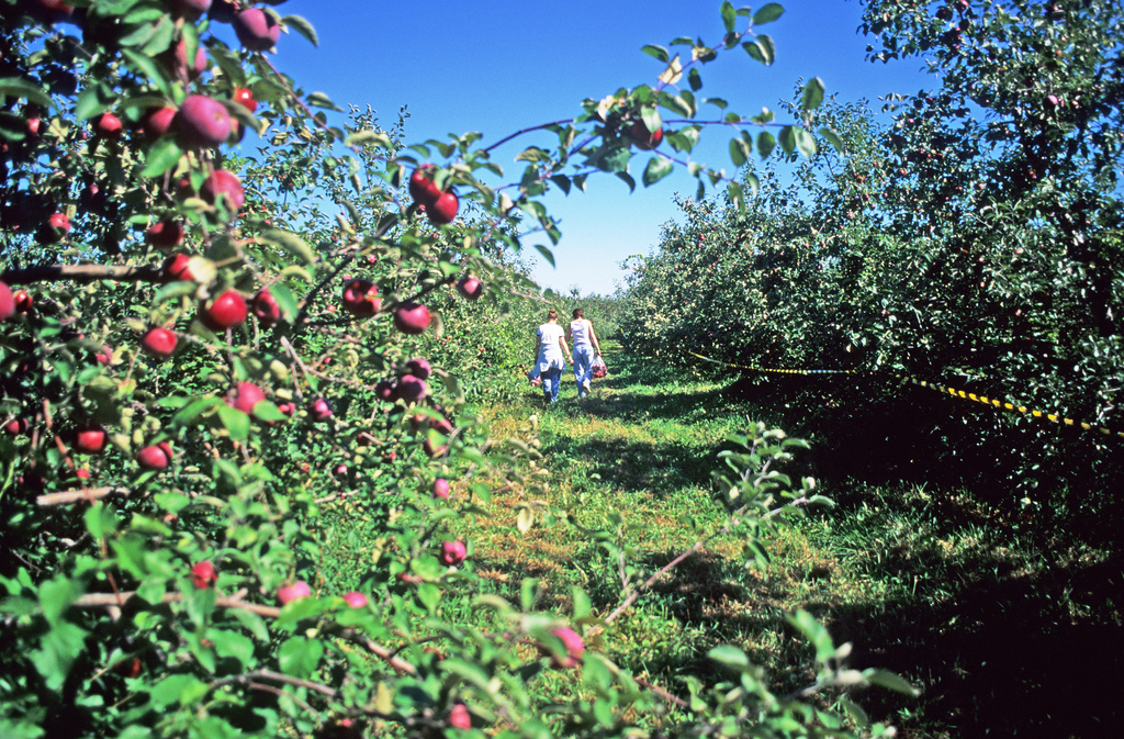It's Apple Picking Season! Tips to Picking the Perfect Apples